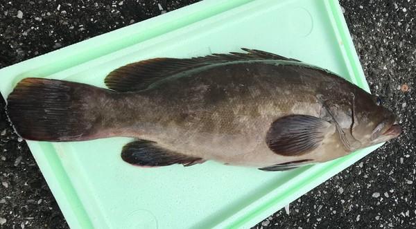 超高級魚クエをいつでも刺身パーフエクトに造りこみました