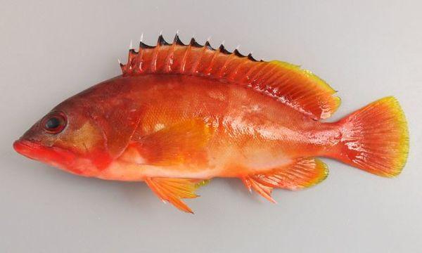高級魚アカハタのシーズンです