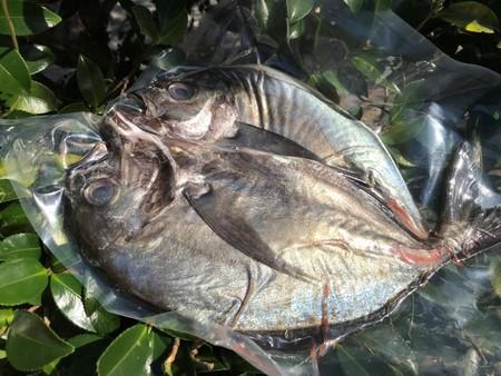 ギンガメアジ ホクホク鮮魚一夜干し(350~600g)  価格は送料・税抜きです
